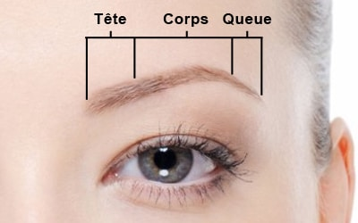 Greffe de sourcils, anatomie 2